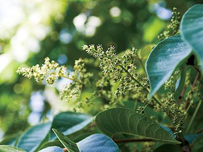 Sumac blossoms